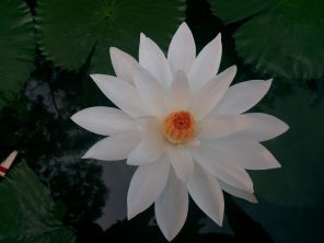 The White Lotus