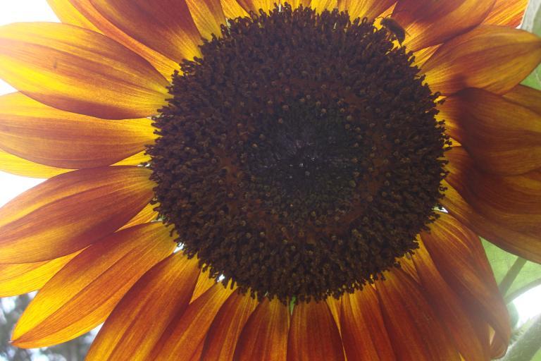 Sunflower, Warrington. June 2015-1