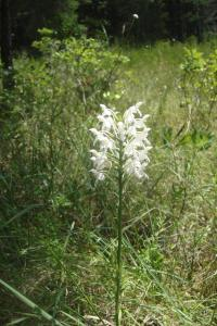Pine Barrens & Native Orchids August 2015-14