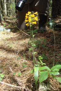 Pine Barrens & Native Orchids August 2015-17