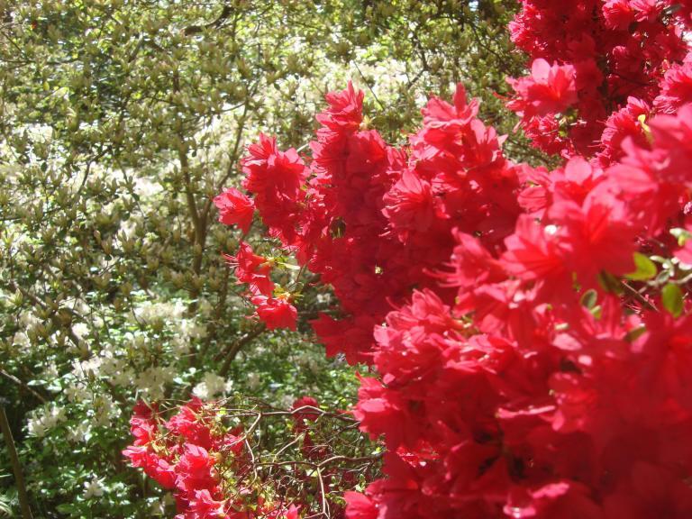 Winterthur's azaleas May 2013-03