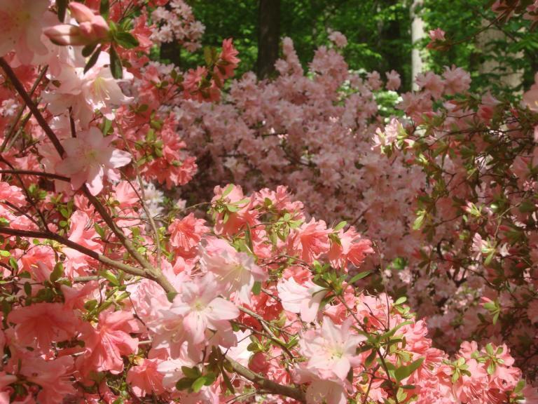 Winterthur's azaleas May 2013-05