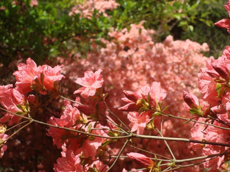 Winterthur's azaleas May 2013-11