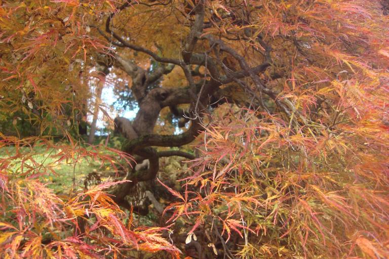japanese-maple-winterthur-october-2015-5-copy
