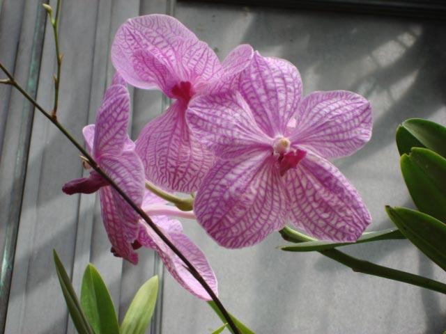 longwood-orchids-15
