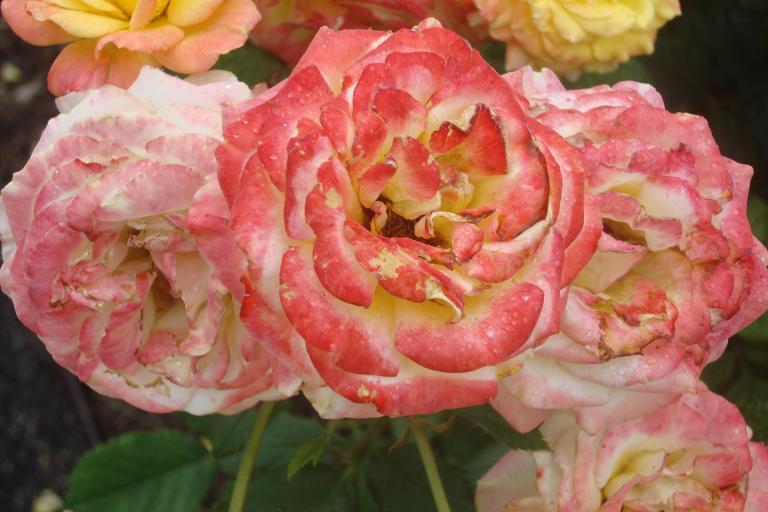NY Botanical Gardens Bronx Roses Mid-June 2015-13