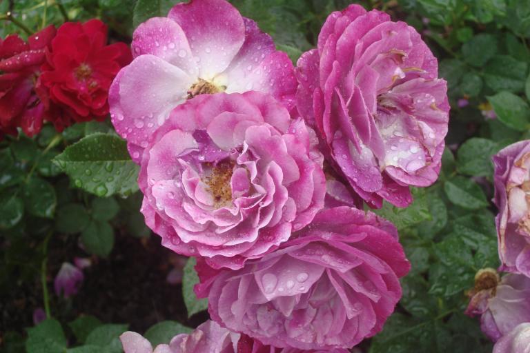 NY Botanical Gardens Bronx Roses Mid-June 2015-32