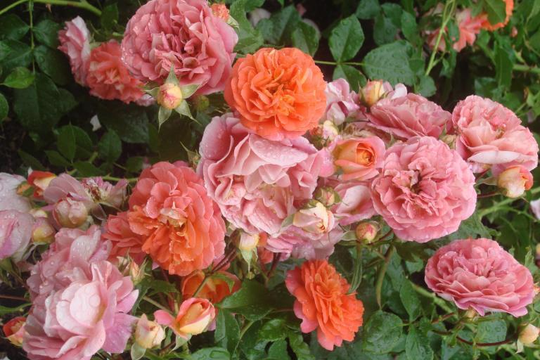 NY Botanical Gardens Bronx Roses Mid-June 2015-34