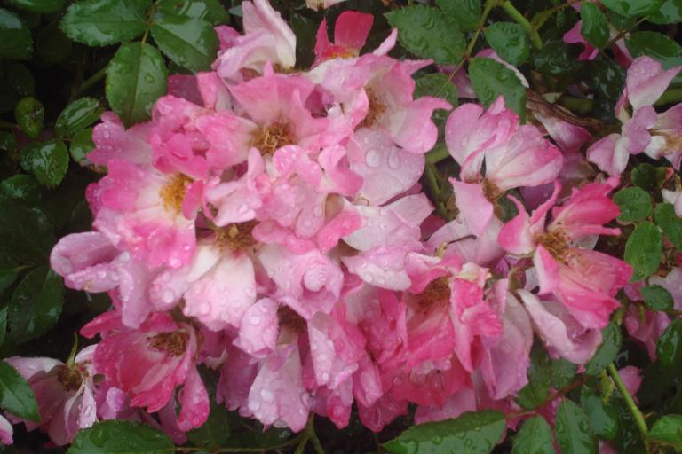 NY Botanical Gardens Bronx Roses Mid-June 2015-39