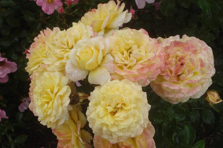 NY Botanical Gardens Bronx Roses Mid-June 2015-42