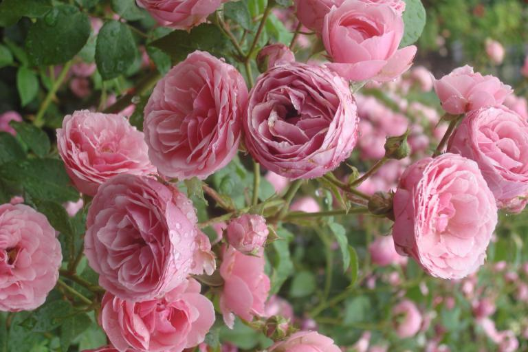 NY Botanical Gardens Bronx Roses Mid-June 2015-44