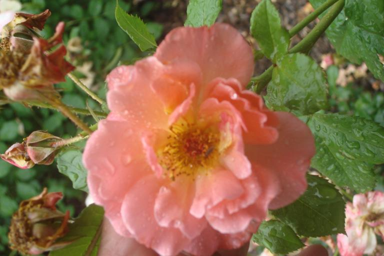 NY Botanical Gardens Bronx Roses Mid-June 2015-51