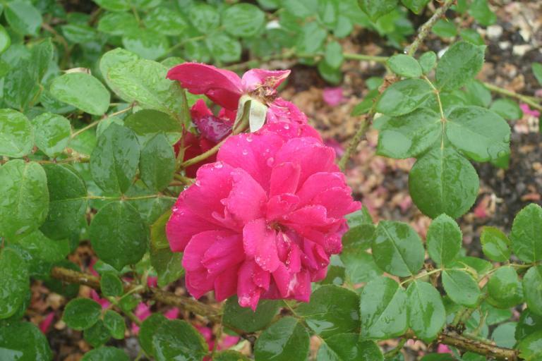 NY Botanical Gardens Bronx Roses Mid-June 2015-74
