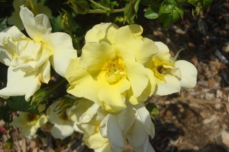 Roses Brooklyn Botanical Garden June 2015-094