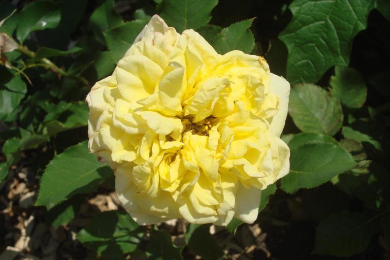 Roses Brooklyn Botanical Garden June 2015-102