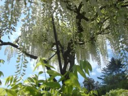 Wisteria Arbor, Longwood Gardens, 2011-09