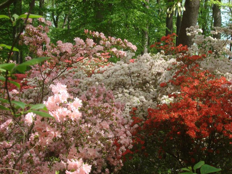 Winterthur's azaleas May 2013-04