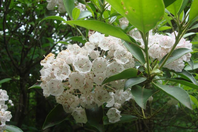 Mountain laurel Mt. Cuba June 2015-5