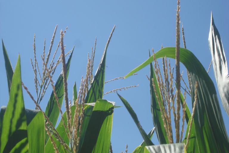 Corn fields Delaware 2015-06
