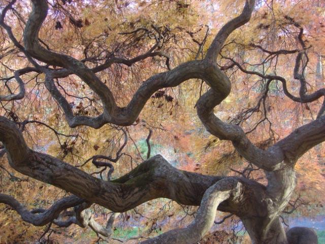 Japanese Maple at Winterthur, November 8, 2011