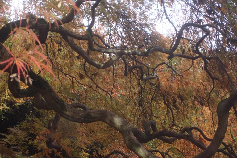 Japanese maple Winterthur October 2015-4 - Copy