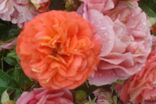ny-botanical-gardens-bronx-roses-mid-june-2015-36
