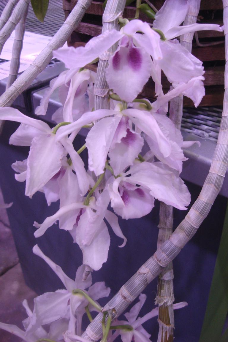 Philly Flowe Show 2015 orchids-12