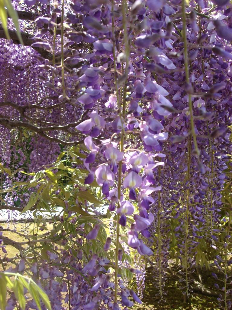 Wisteria Arbor, Longwood Gardens, 2011-07
