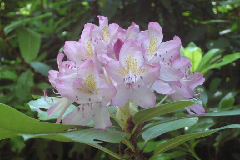 Rhododendrons, Winterthur, DE-05