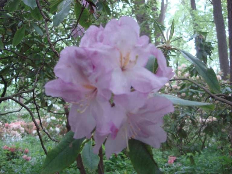 Rhododendrons, Winterthur, DE-22