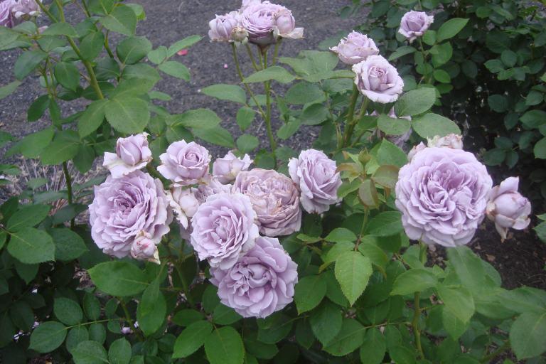 NY Botanical Gardens Bronx Roses Mid-June 2015-01