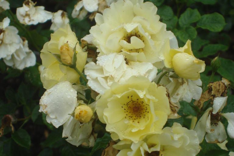 NY Botanical Gardens Bronx Roses Mid-June 2015-25
