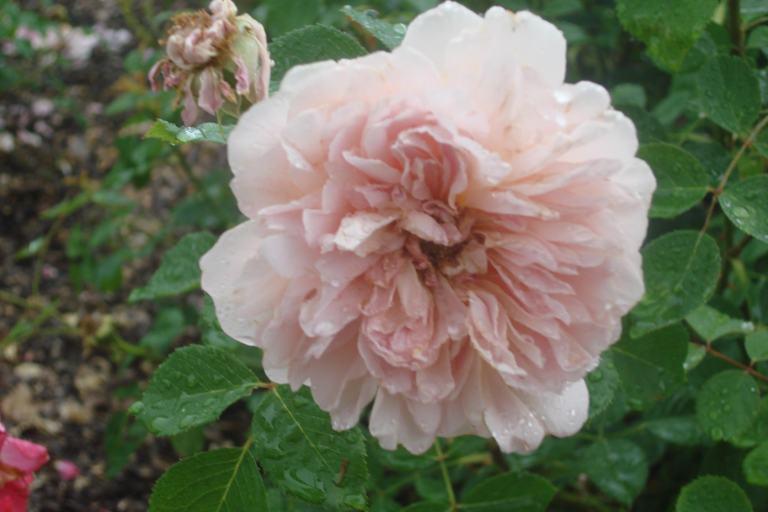 NY Botanical Gardens Bronx Roses Mid-June 2015-68