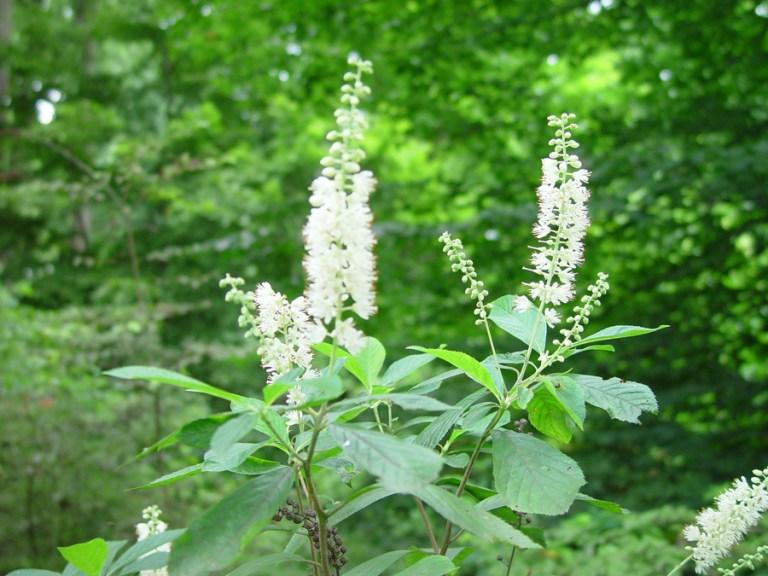 Clethra_alnifolia_2