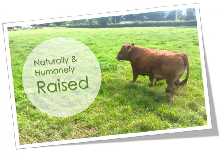 Cow in a field - pasture raised