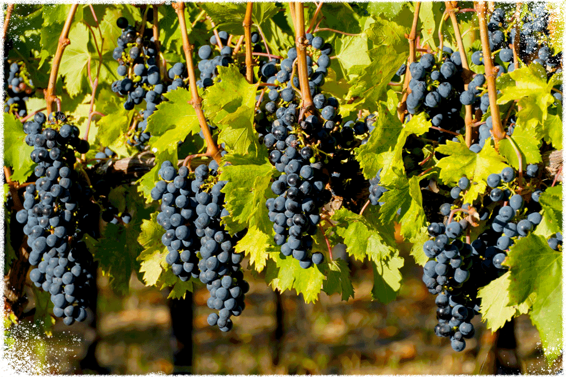 Tintilia Grapes on the Vine Ready For Harvest