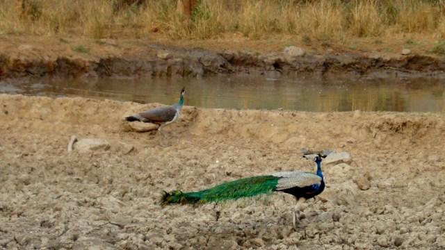 Peacock - Birding Diary - 1