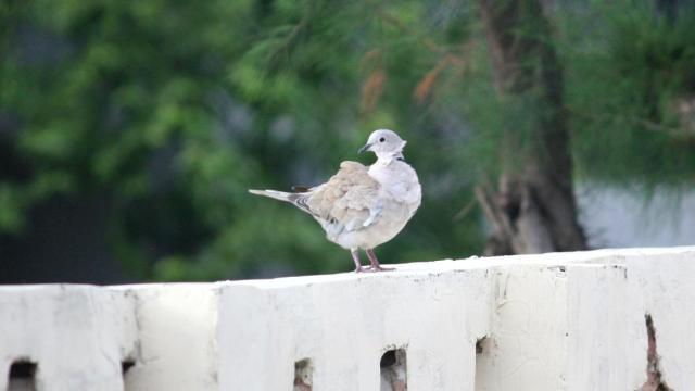 Dove - Birding Diary - 1