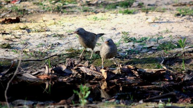 Babbler - Birding Diary - 1