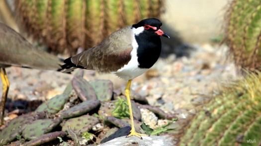 Lapwing - Birding Diary - 2