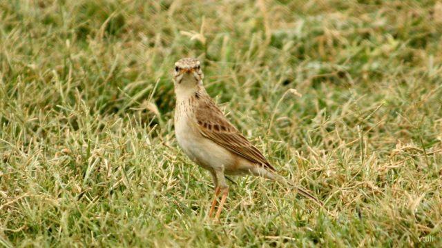 Paddyfield Pipit - Birding Diary - 3