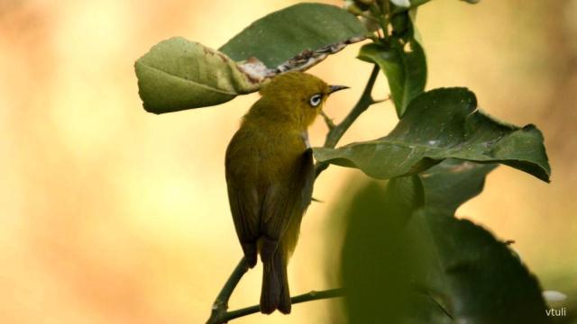 Oriental White Eye - Birding Diary - 3