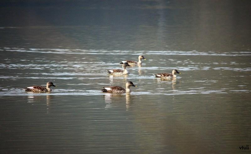 Spot Billed Duck - Canon Photo Walk