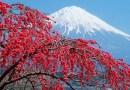 Подборка фотографий с цветущей сакурой.