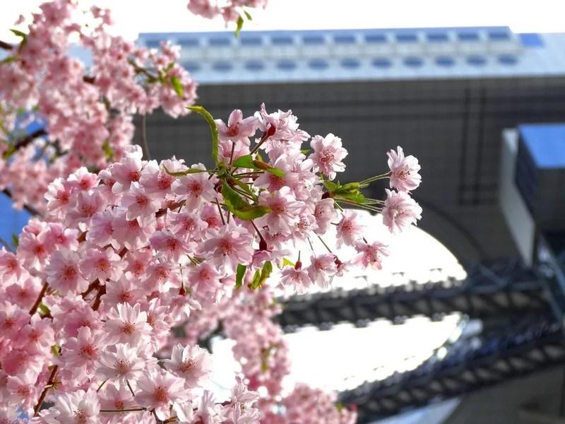 Photos-of-Sakura-vinegret (4)