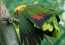 Самые крупные попугаи.