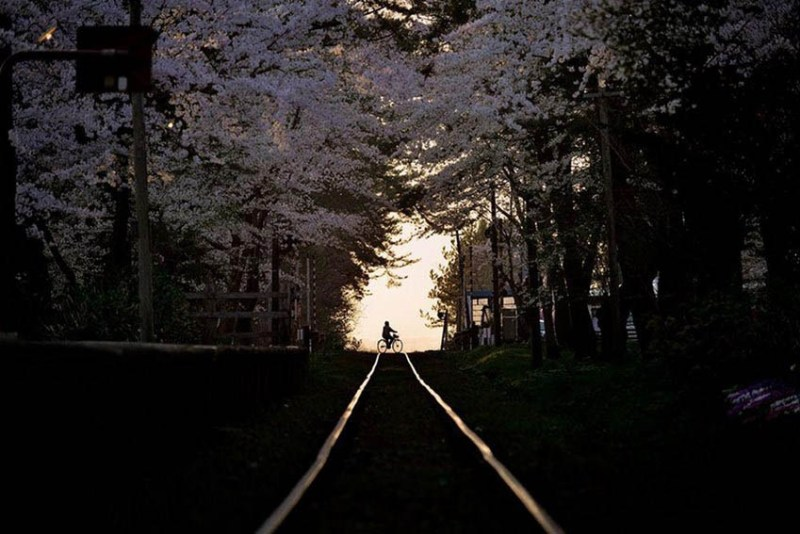 National-Geographic-cvetenie-sakuri-vinegret (14)