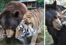 Эти лев, тигр и медведь неразлучны уже 15 лет (+video)…