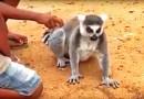 Видео: Лемур просит, чтобы ему почесали спинку.