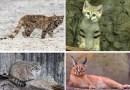 Самые редкие и необычные виды кошек.